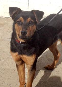 Buddy has a typical rescue dog Doberman Mix With German Shepherd