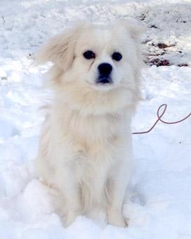 Potty train american eskimo puppy sale