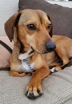 What is a beagle and dachshund mix?