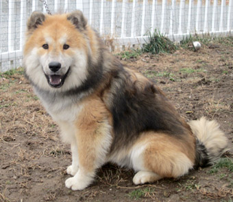 chow chow border collie mix - photo #34