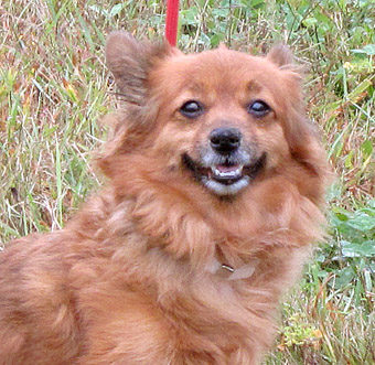 Roxy, the Pomeranian / Long Haired Chihuahua mix