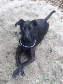 Whippet Lab Mix | www.pixshark.com - Images Galleries With ...